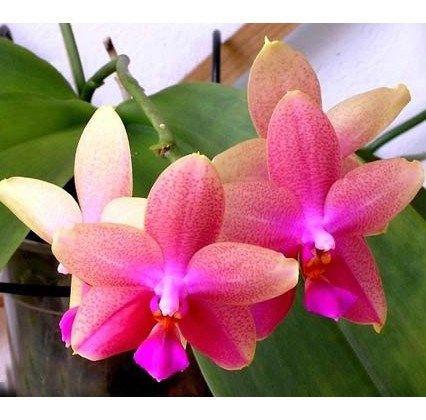 Купить лиодоро орхидею