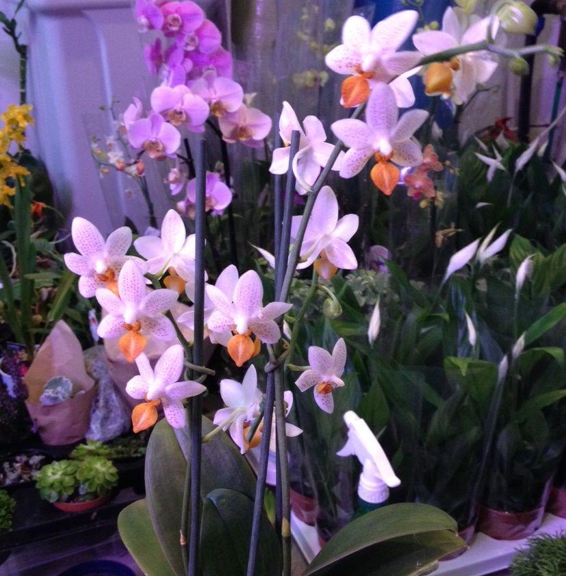 Купить орхидеи в москве мини