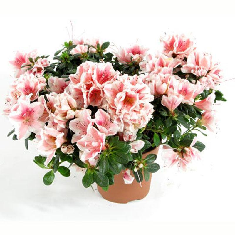 Азалия магазин цветов москва каталог воронеж бесплатная доставка