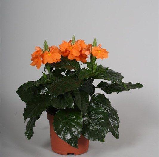 Кроссандра фортуна цветок