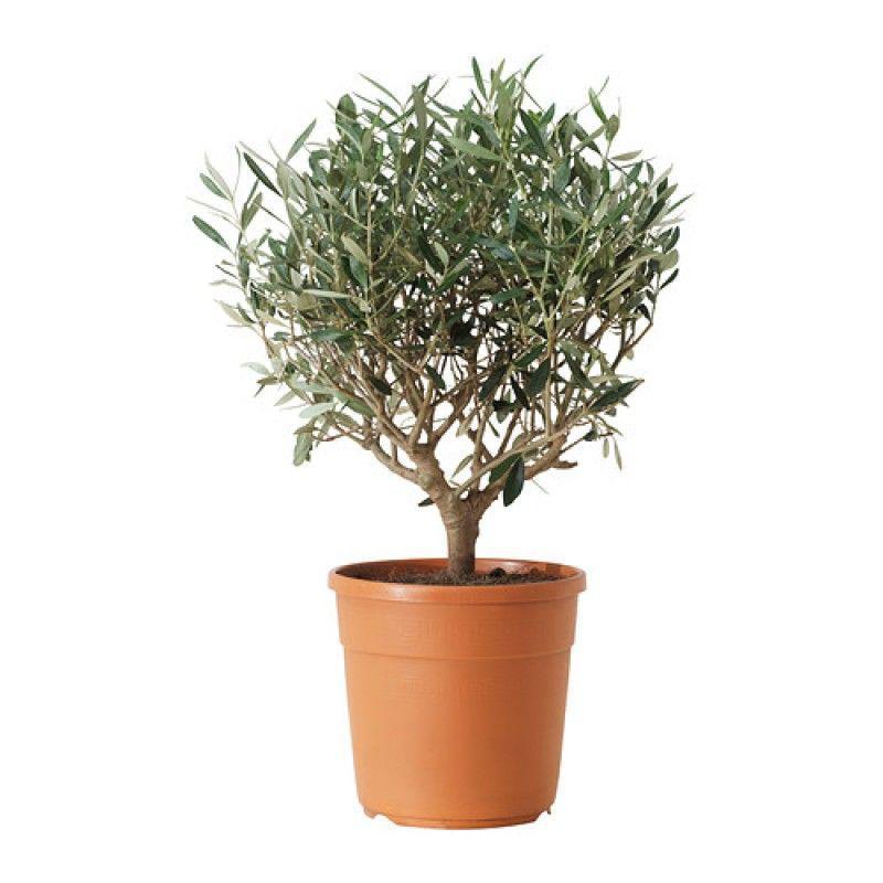 Купить Оливковое дерево   Прочие декоративно-плодовые GA72