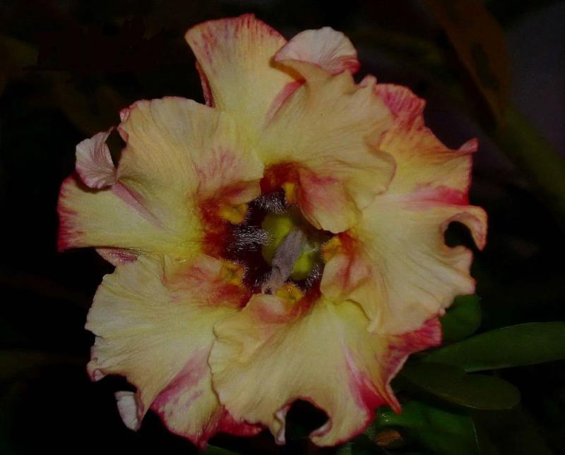 Цветы с доставкой адениум доставка цветов в муроме на дом