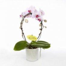 Орхидея в подарок | Новости | Интернет-магазин орхидей и декоративных цветов в Москве. У нас вы можете купить орхидеи с доставкой.