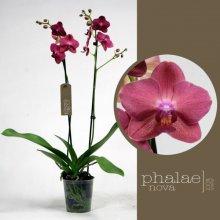 Купить Фаленопсисы | Орхидейные | Горшечные цветы и растения | Интернет-магазин орхидей и декоративных цветов в Москве. У нас вы можете купить орхидеи с доставкой.