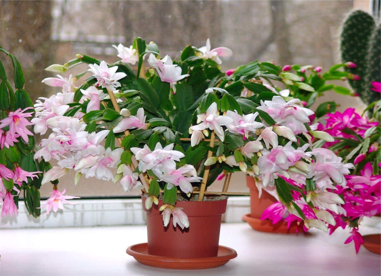 Цветок горшечный названия фото