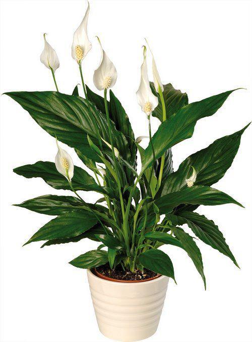 круглой даты домашние цветы спатифиллум уход фото самом указе обоснования