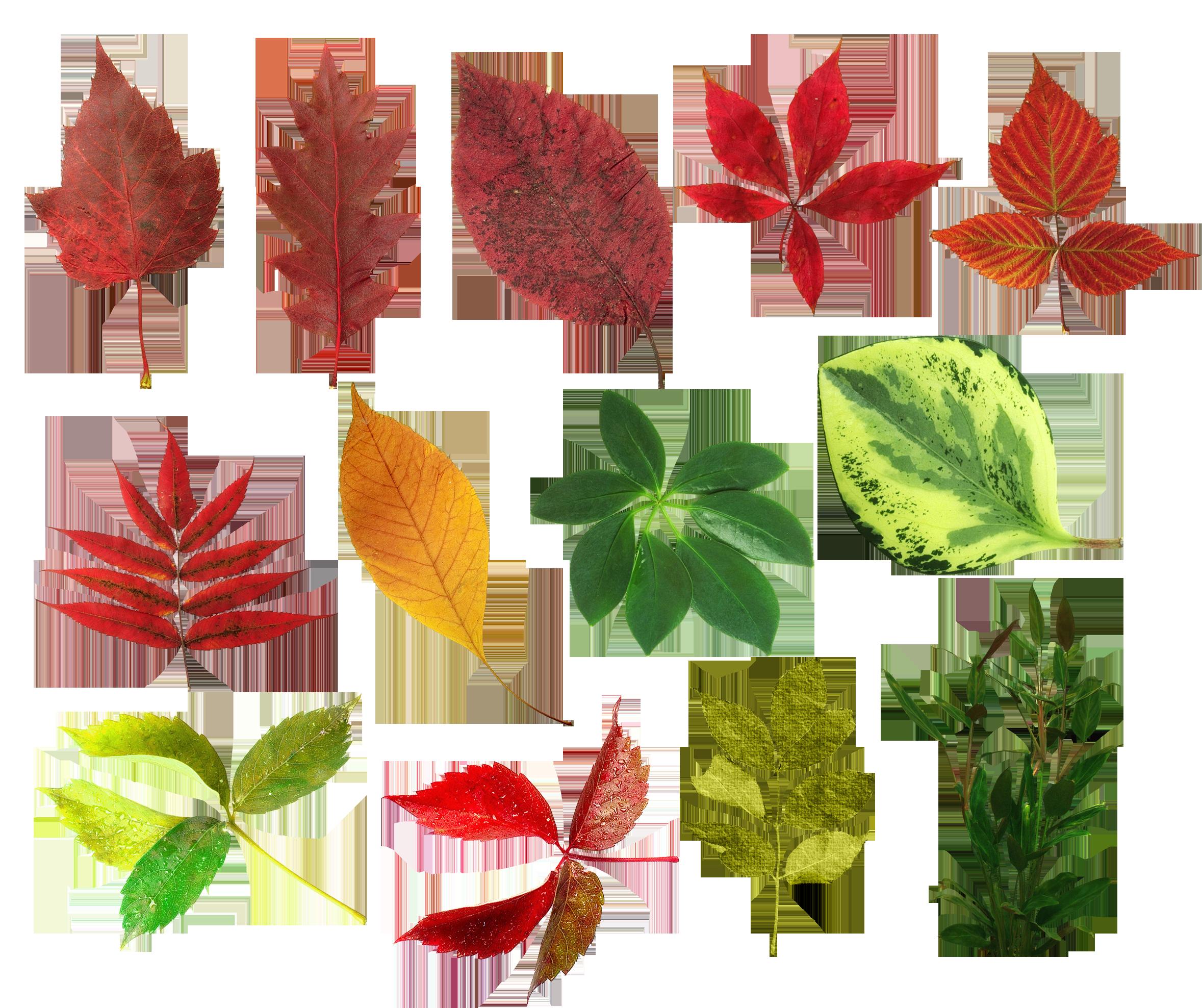 нас всегда показать в картинках листья разных деревьев касается