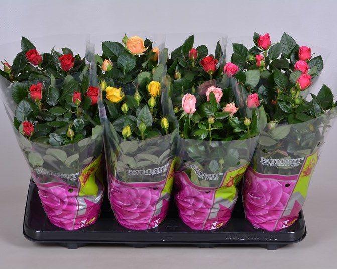 Розы «патио» купить доставка цветов и тортов ростов на дону