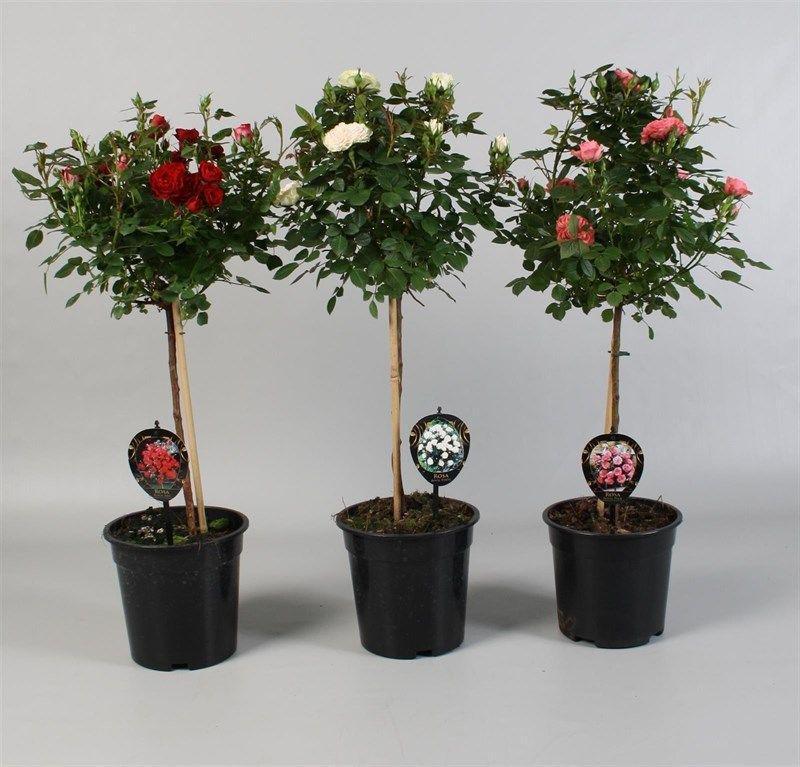 Цветы декоративные в горшках купить