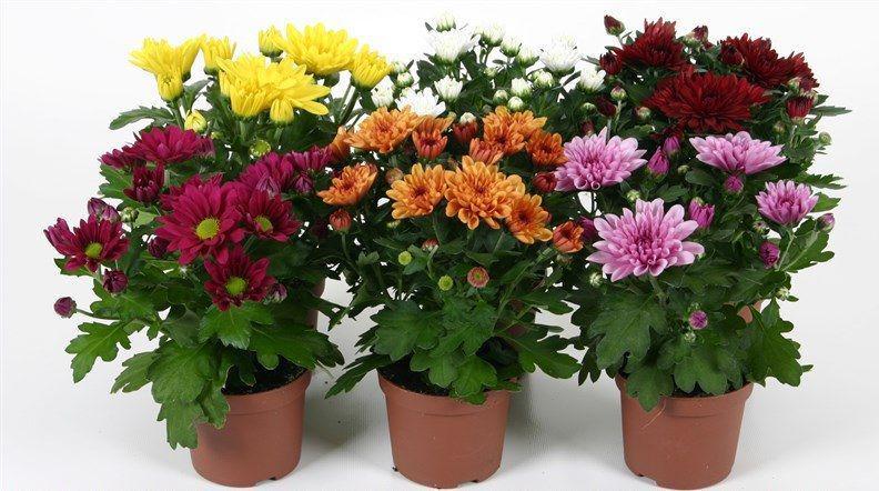 Купить цветы в горшках оптом в москве можно хранить живые цветы в холодильнике