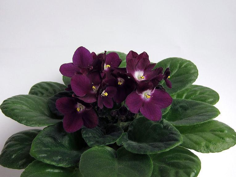 Цветы фиалки купить интернет магазин доставка цветов оптом краснодар
