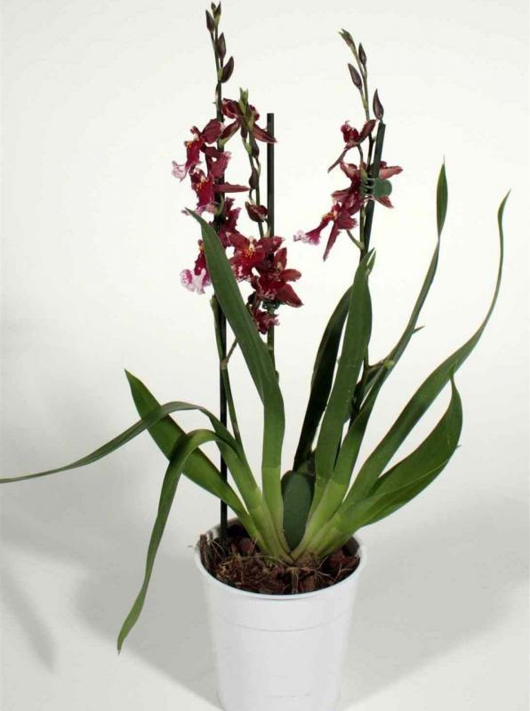 Доставка цветов москва орхидеи горшочные доставка цветов по городе сумы