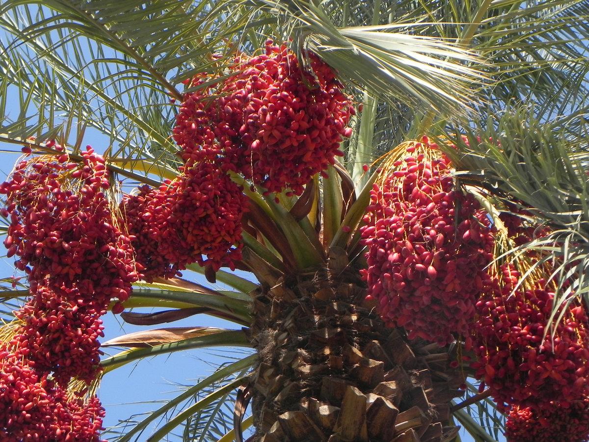 для фотоаппаратов финиковая пальма дома с плодами фото казалось