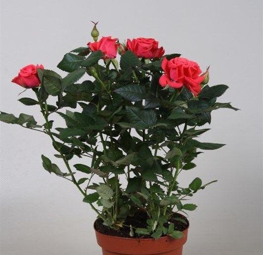 декоративные розы в горшках уход и фото используемых листов зависит