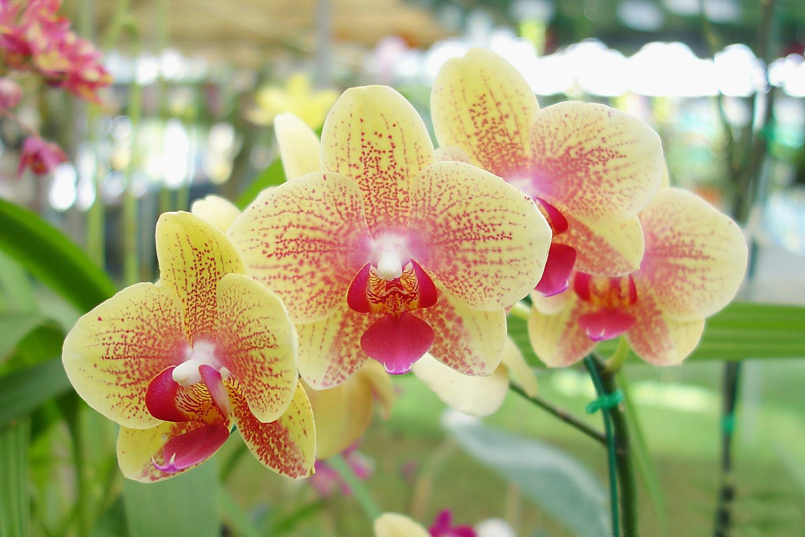 орхидея фото цветов и названия сорта имя фото спортсменки