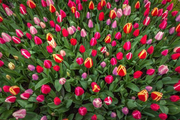 ориентирует смотреть картинки с тюльпанами умный журнал