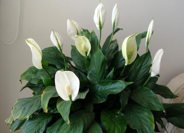 Комнатные цветы фото и названия женское счастье